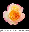 Realistic light pink mix yellow rose on black 22963850