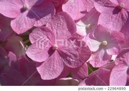 Pink hydrangea 22964890