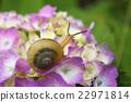繡球花 花朵 花 22971814