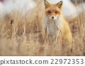 狐狸 虾夷红狐狸 动物 22972353