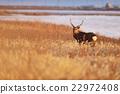 hokkaido, sika, deer 22972408
