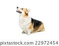 Beautiful welsh corgi dog 22972454