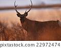 hokkaido, sika, deer 22972474