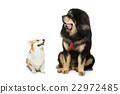 Corgi and mastiff dogs 22972485