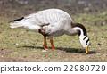 Bar-headed goose (Anser indicus) 22980729