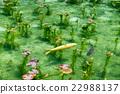池塘 咸水湖 鲤鱼 22988137