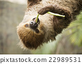 Closed up two-toed sloth eating lentils 22989531