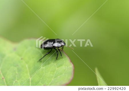 생물 곤충 히메 망치 노린재, 다섯 ㎜ 정도의 광택이있는 검은 색 노린재. 지상 성이므로 그다지 눈에 포함되지 않습니다 22992420