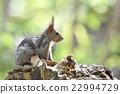 松鼠 日本北海道松鼠 松鼠常見的東 22994729