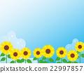 sunflower, sunflowers, blue 22997857