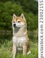 close up on shiba inu dog 23002155