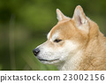 close up on shiba inu dog 23002156