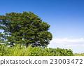 光叶榉 大树 树 23003472