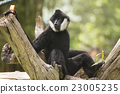 Black cheeked gibbon or Lar gibbon 23005235