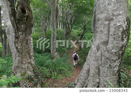 Shinboodake's beech forest 23008343
