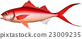 灰喜鵲 魚 海魚 23009235