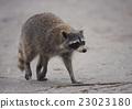 Raccoon Walking 0n a trail 23023180