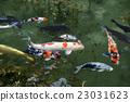 pond, lagoon, carp 23031623