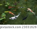 池塘 鹹水湖 鯉魚 23031626
