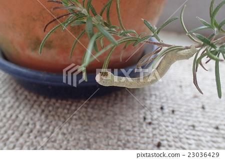 나방 애벌레 (로즈마리 해충) 23036429