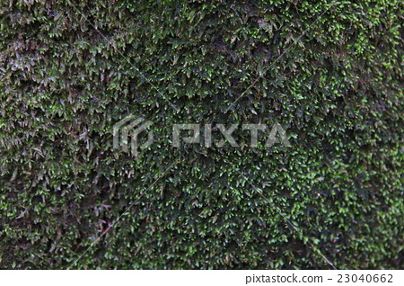 Moss grew on the tree trunk 23040662