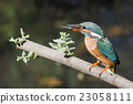 Common kingfisher (Alcedo atthis) 23058111