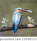 Common kingfisher (Alcedo atthis) 23058113