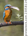 Common kingfisher (Alcedo atthis) 23058114