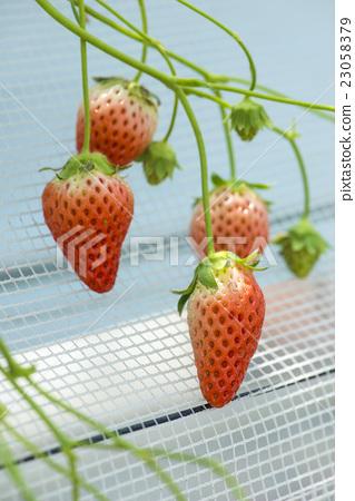 Strawberry hunting 23058379