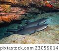 鯊魚 海裡 海底的 23059014