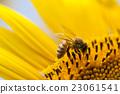 向日葵 蜜蜂 蟲子 23061541