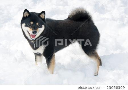 Shiba Inu和雪 23066309