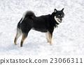 Shiba Inu和雪 23066311