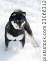 Shiba Inu和雪 23066312