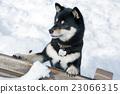 Shiba Inu和雪 23066315