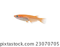 killifish, medaka rice fish, aquarium fish 23070705
