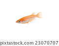 killifish, medaka rice fish, aquarium fish 23070707