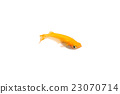 killifish, medaka rice fish, aquarium fish 23070714