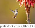 Hummingbird 23075333