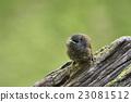 小雞 小鳥 幼鳥 23081512