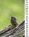 小雞 小鳥 幼鳥 23081514