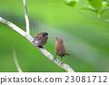 小鳥 父母和小孩 親子 23081712