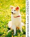 Japanese Akita Inu Puppy Sitting In Green Grass 23092607