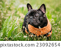 Young Black French Bulldog Dog In Green Grass 23092654