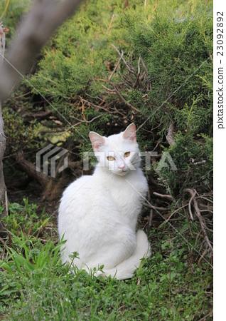 动物 猫 白猫 23092892