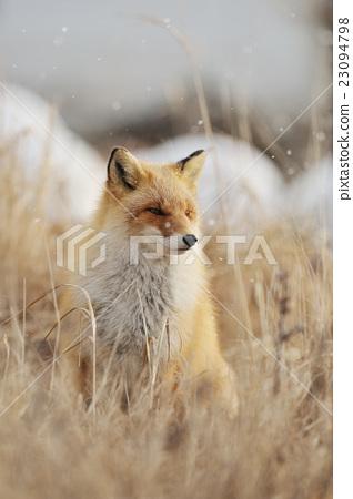 狐狸 虾夷红狐狸 冬天 23094798