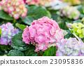 Hydrangea flower (Hydrangea macrophylla) 23095836
