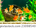 Goldfish in aquarium with green plants 23098540