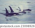 killer, whale, marine 23098926