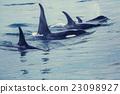 Orca 23098927